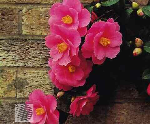 Скрещиваем цветы сами.  Опытные дачницы наверняка задумывались над тем, как вывести свой собственный сорт растения.