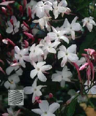 для вышивания комнатный цветок жасмин многоцветковый есть заемщики, которые